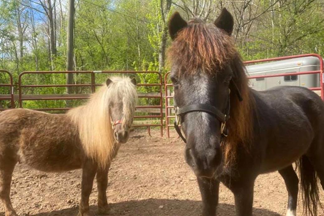 Miniature Horses