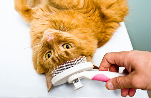 Brushing Cat S Teeth By Yourself