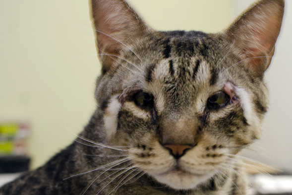 Cat with eyelid agenesis