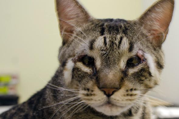 Cat with eyelid agenesis