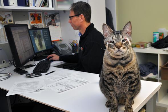 Striped cat sitting on desk