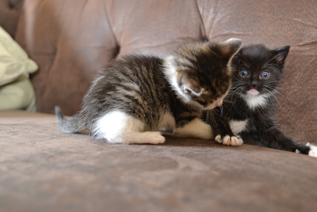 two kittens playing on a couch