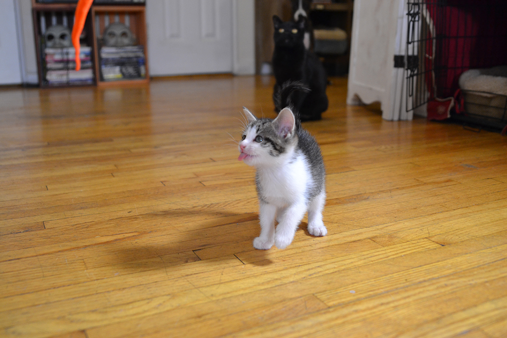 kitten walking around with their tongue out