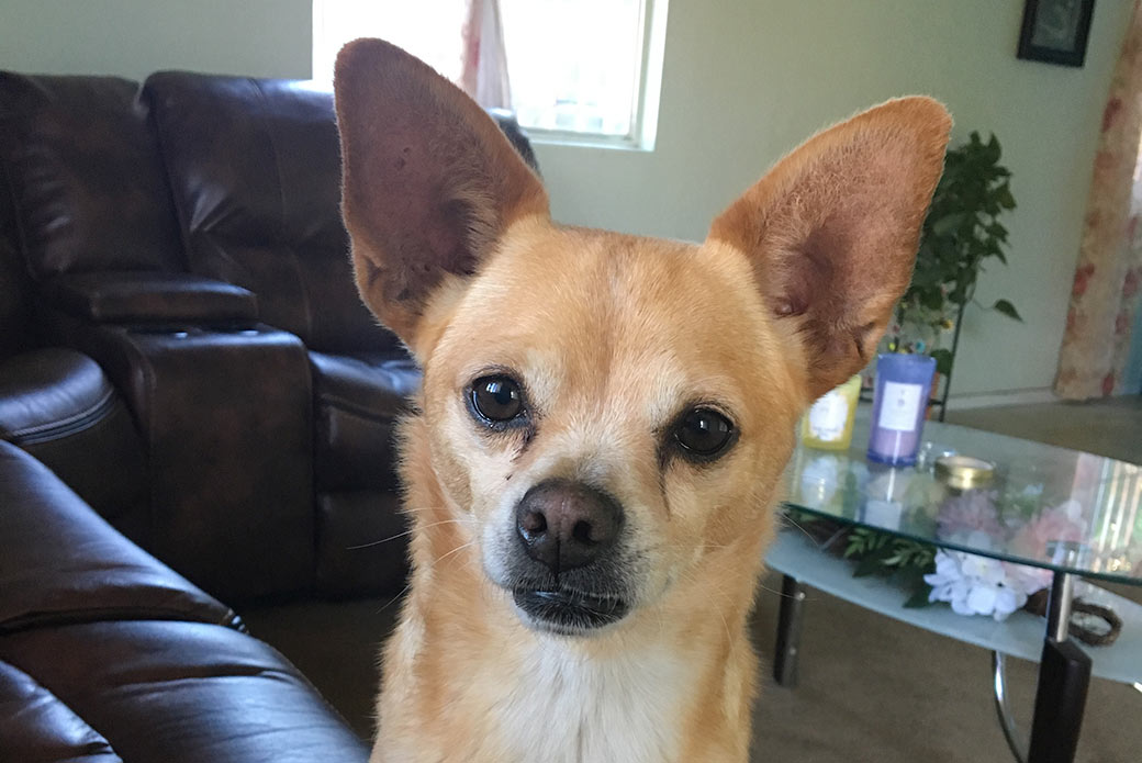 tan chihuahua mix