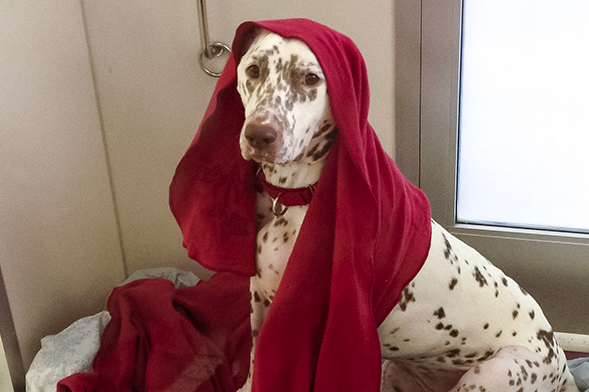Dalmatian with red blanket draped on her