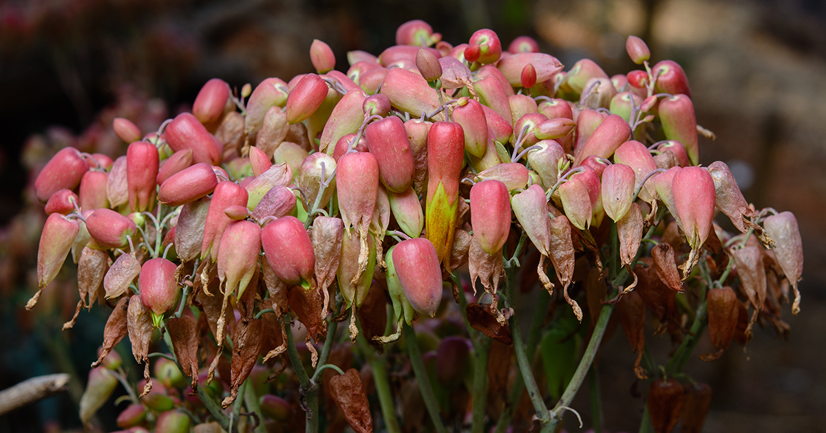 Is Kalanchoe Toxic To Cats Or Dogs