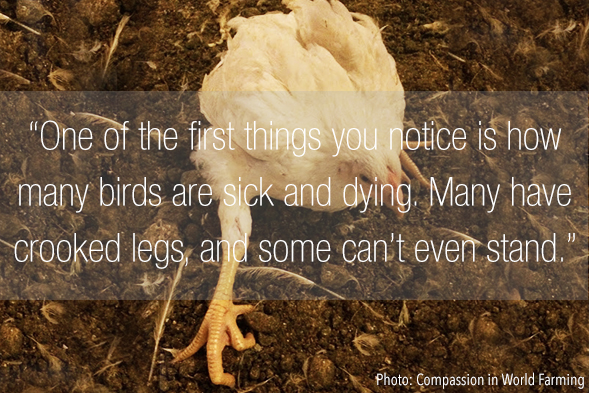 Chicken Farmers Suffer alongside Birds under Factory System