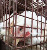 Chicken on factory farm