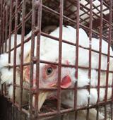 Chicken on factory farm