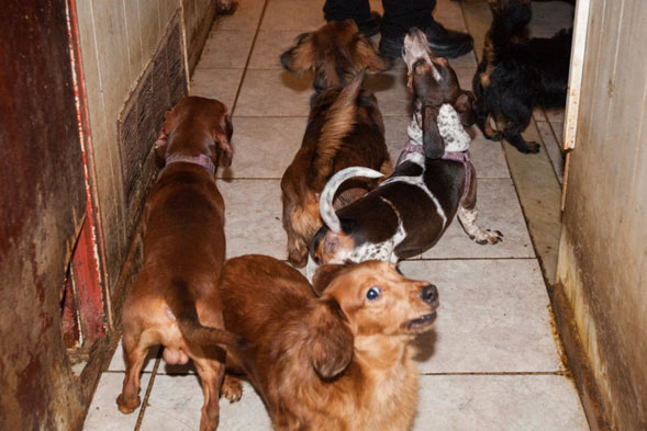 dogs from dachshund hoarding case