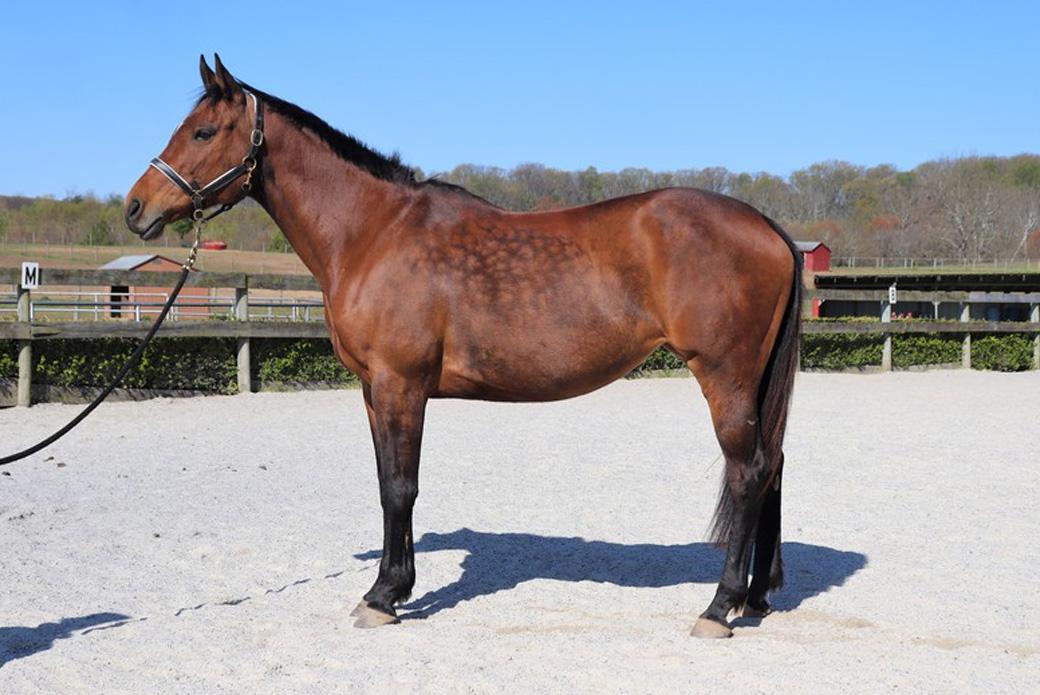 Bay horse - Indiana