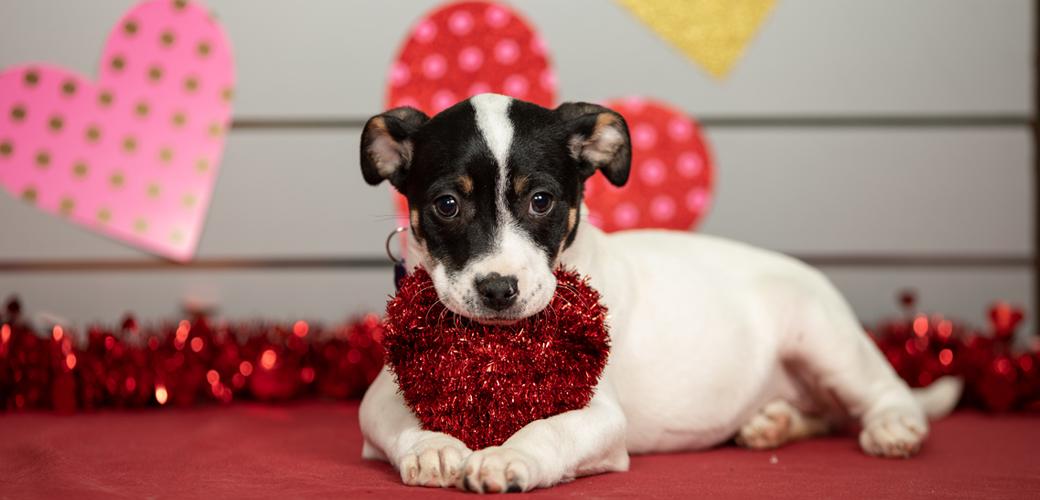 Valentine's Puppy