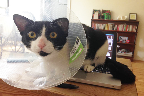 Devito wearing a cone sitting on a laptop