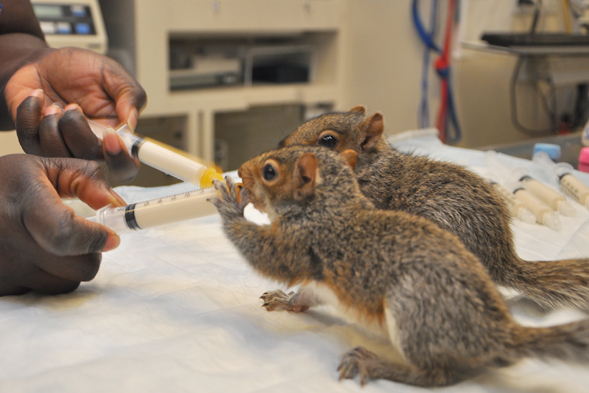 Did You Find a Stray or Injured Bird, Squirrel or Rabbit