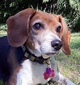 Beagle laying on lawn