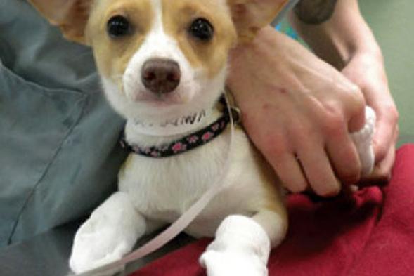 Corgi puppy wearing socks