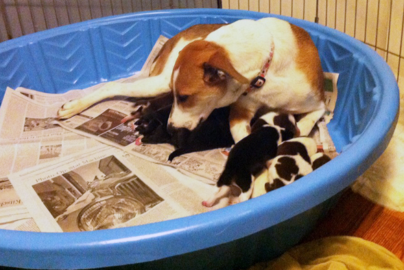 Mother dog taking care of pups in blue kiddie pool