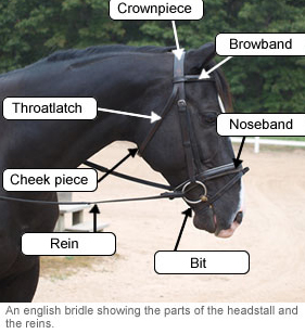 English bridle showing the parts of the headstall and the reins