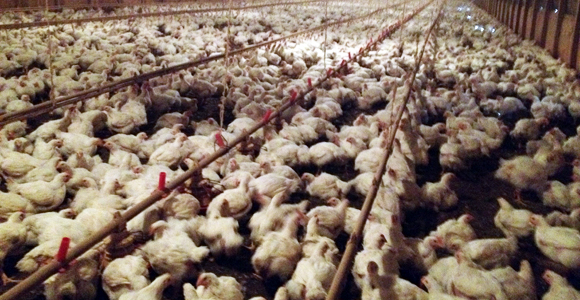 Chickens on a factory farm