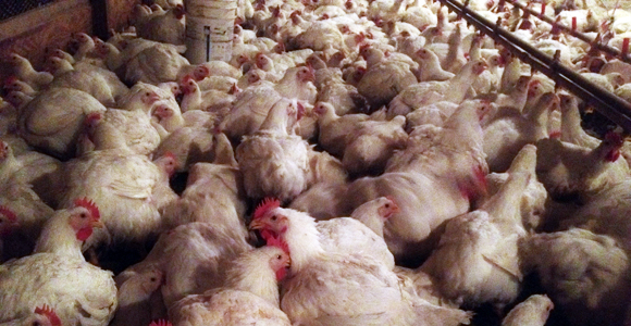 Hundreds of chickens crammed together