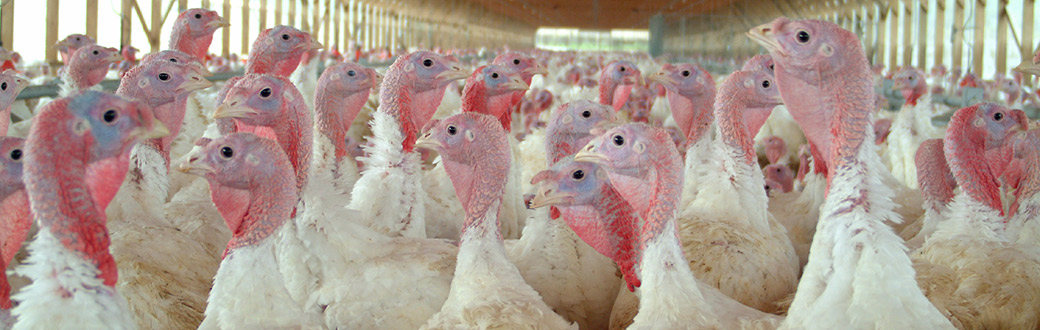 Animals on Factory Farms | Chickens | Pigs | Cattle | ASPCA
