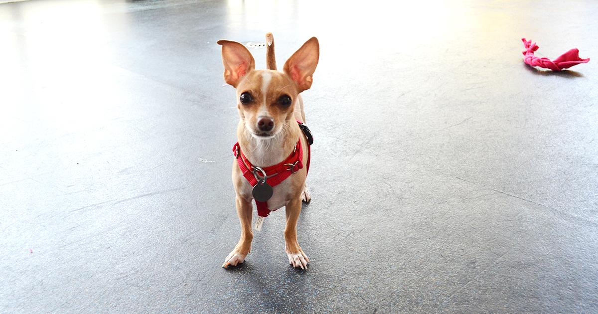 Adoptable Small Dogs Nyc