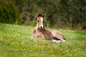 Small brown foal lying in a field of clover.