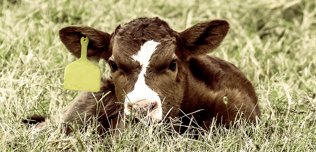 Shop with your heart: cow resting in the grass