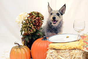 Dog with pumpkins, gourds and other holiday decor
