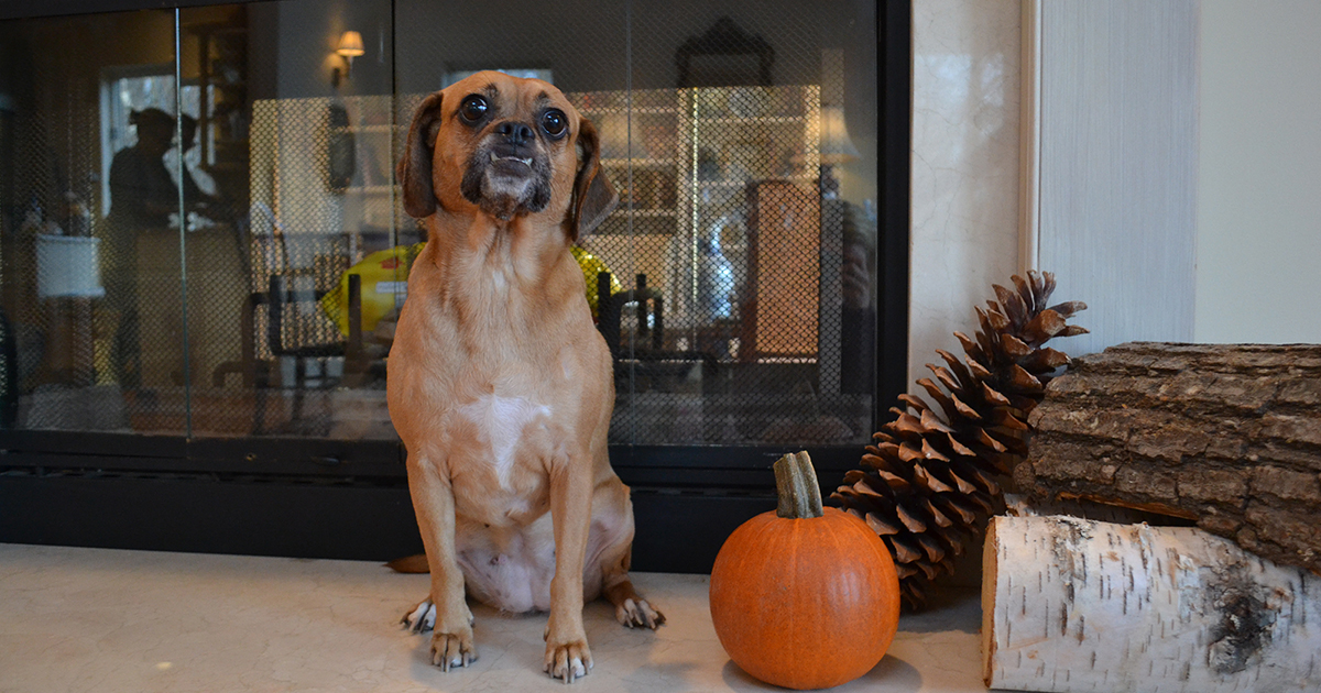 is pumpkin poisonous to dogs