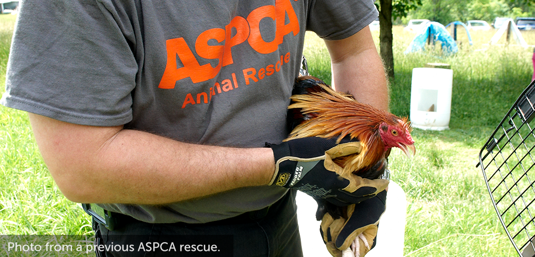 an ASPCA volunteer holding a rooster