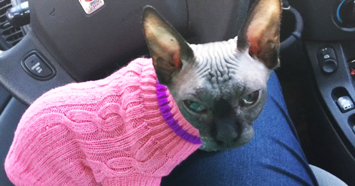Sick and Alone, One Brave Sphynx Kitten finds an Ideal Home