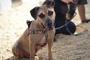 Bronx Dog Fighting Victim