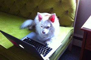 white dog with laptop on green sofa