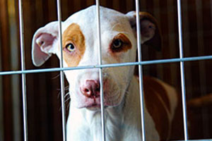 brown and white pit bull puppy behind bars