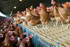 Chickens at a factory farm