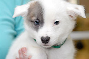White and grey puppy