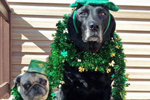 Pug and black lab dressed up for St. Patrick's Day