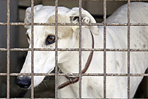 New Report Highlights Horrors of Texas Greyhound Racing