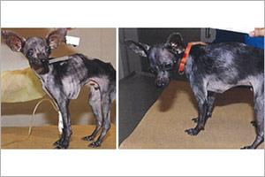 ASPCA Arrests Brooklyn Woman over Starved Chihuahua