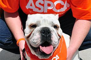 Bulldog wearing ASPCA bandanna