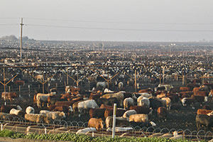 factory farm with cows
