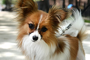 Close up of red and white papillon