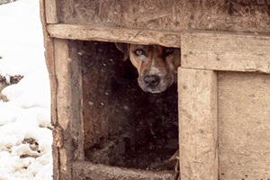 Pit bull hiding in dog house