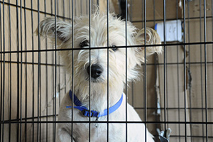 Small white dog wearing blue collar sitting in crate