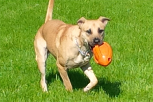 Dog playing with orange toy on grass
