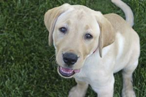 Yellow lab puppy sitting on grass