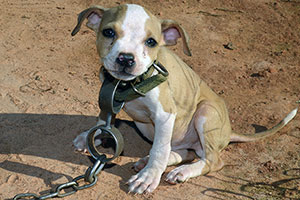 When this little puppy was found, he wore a heavy chain typical of dog fighting victims.