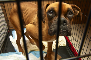 Emaciated boxer from puppy mill