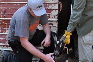 ASPCA Responder tends to goat